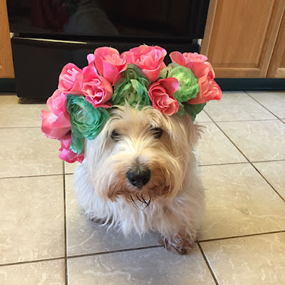 Sitting West Highland White Terrier wearing a crown of pink roses and green flowers