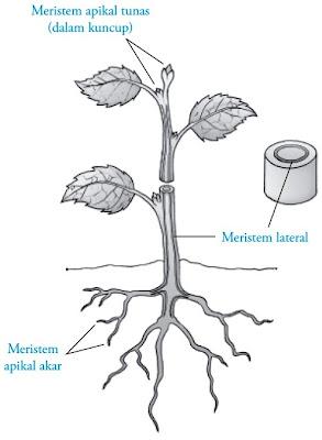 Jenis jaringan meristem menurut letaknya