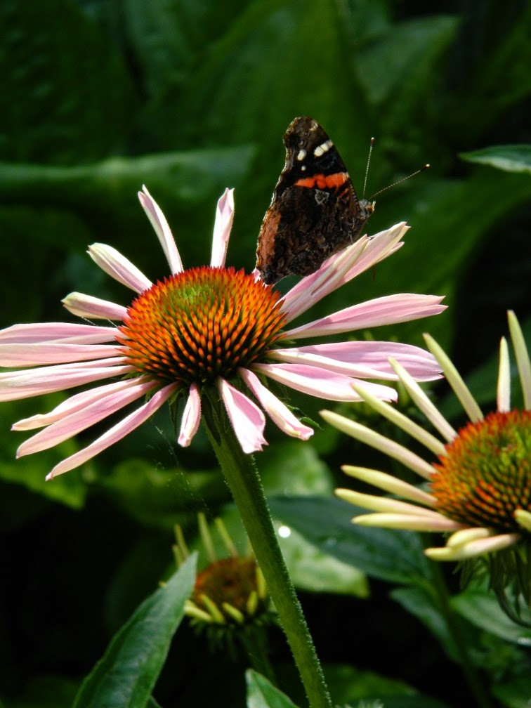 Echinacea purpurea Purple Coneflower Riverdale Farm by garden muses-not another Toronto gardening blog