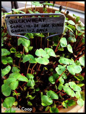 gardening microgreen garden plants buckwheat