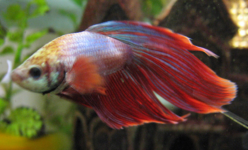 The pet parade types of betta fish diseases for Types of betta fish petco