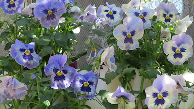 ByHaafner, pansies, flowers, containergarden, white, yellow, shades of purple, sunshine