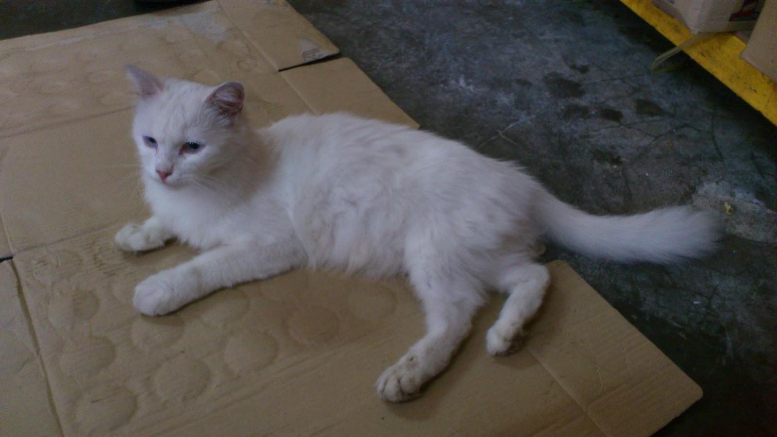 Kucing Parsi Comel Rel...
