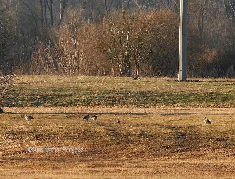Eurasian Curlews