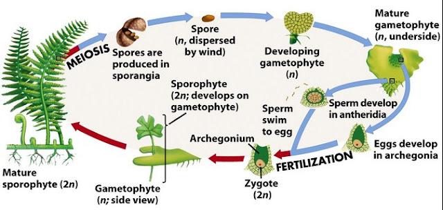 Proses Reproduksi Vegetatif pada Tumbuhan Berbiji