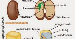 Fungsi Bagian Bagian Biji Tumbuhan Dikotil Dan Monokotil