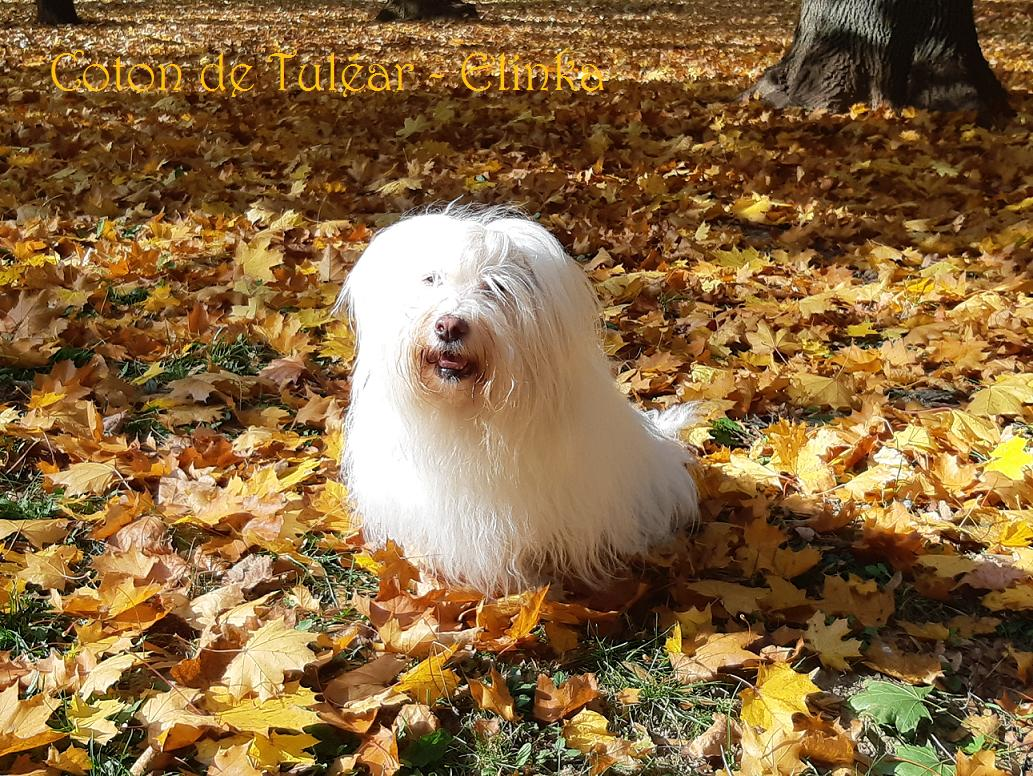 Zenobia´s little sun - Coton de Tuléar kennel