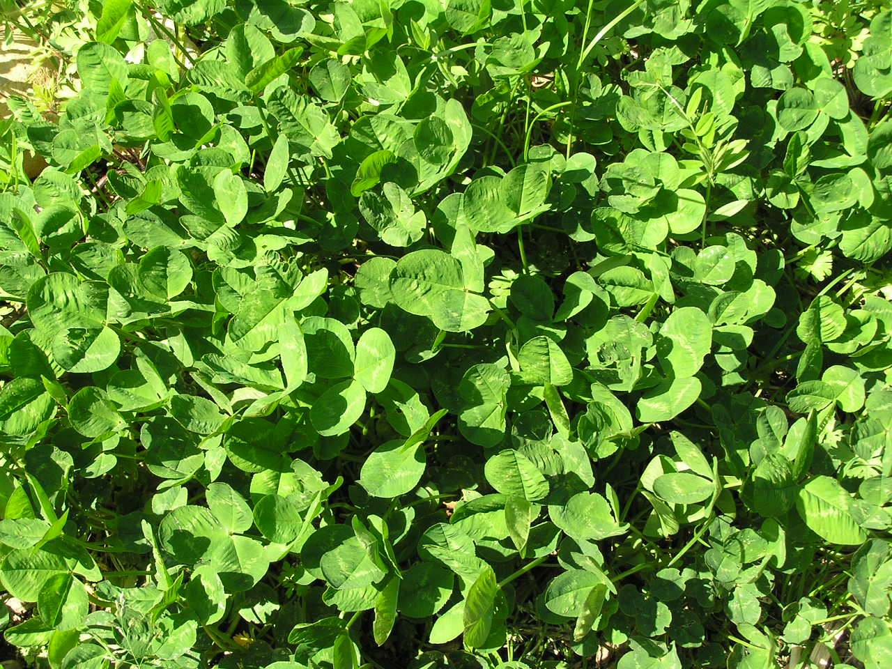 Weeds in flower beds identify - Identifying And Harvesting Edible Weeds In The Garden A Life Unprocessed