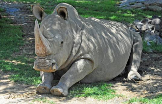 Only three known Northern White Rhinos left