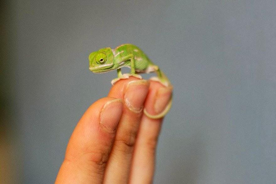 newly born baby chameleons Sydney Taronga Zoo-5