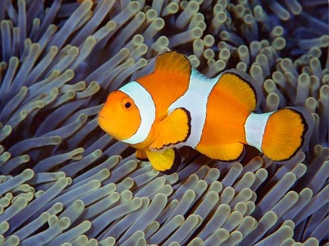 أجمل الأسماك الاستوائية الملونة   - صفحة 2 Colorful-tropical-fishes-07
