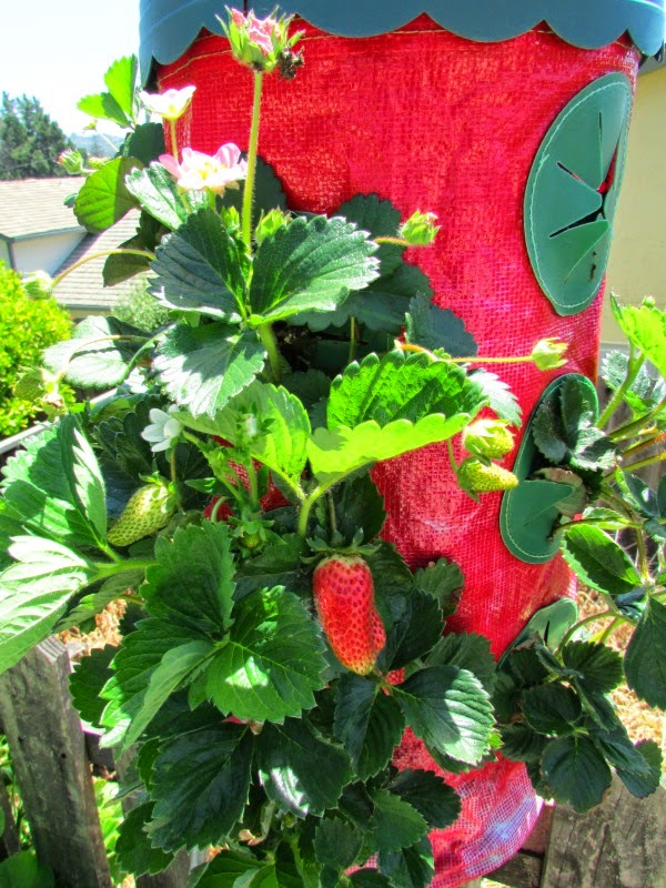 In the Garden // Strawberry Fruit in a Hanging Planter