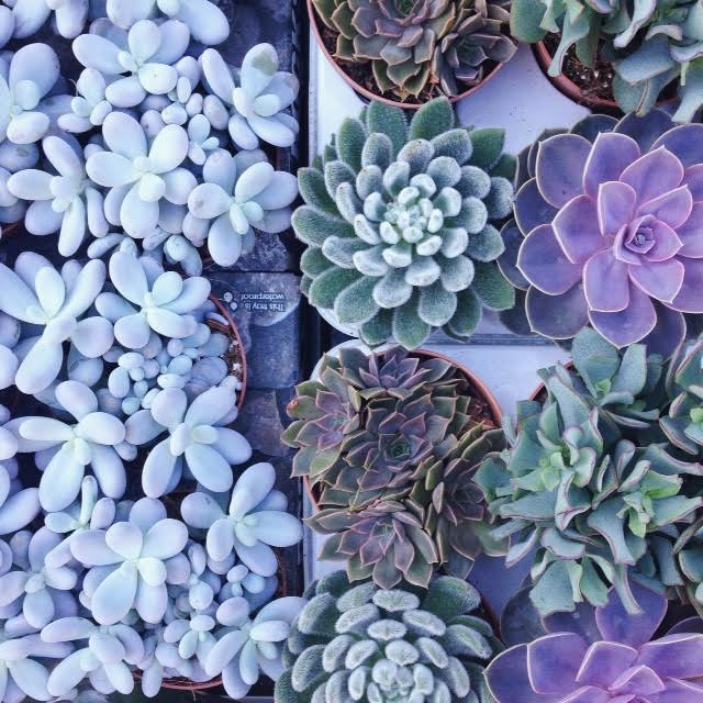 Pastel colored succulents at the Columbia Road Flower Market