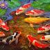 Lukisan Ikan Koi karya Iwan