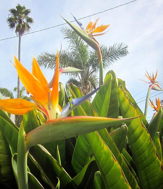 Bird of Paradise, Strelitzia, Crane Flower