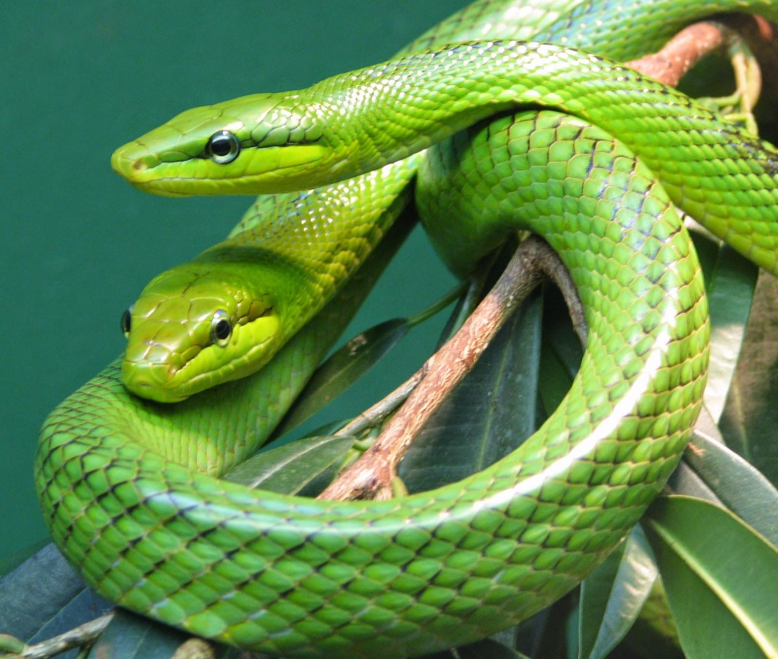 mitos ular yang salah kaprah atau tidak benar