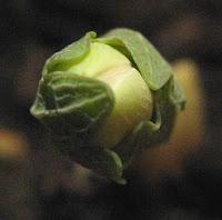 Sanguinaria canadensis bud