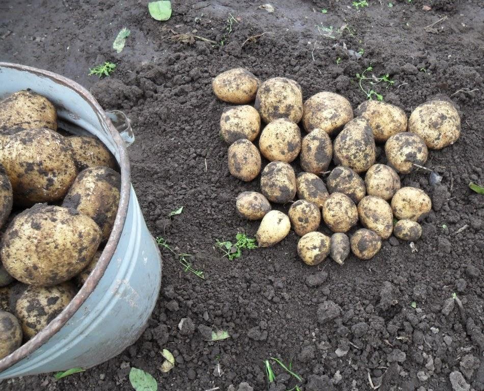 Картофель без перекопки