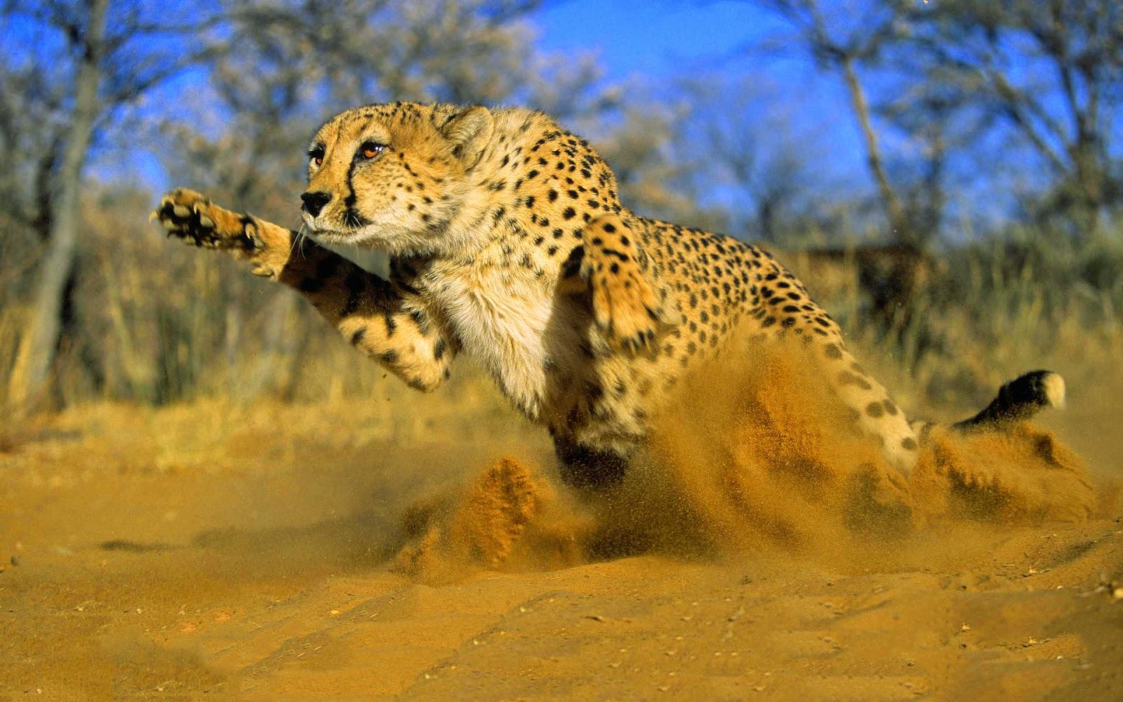 Where Do Cheetahs Live >> Where Do Cheetahs Live The Garden Of Eaden