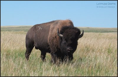 Bison in Grasslands National Park, Canada - photo by Shelley Banks