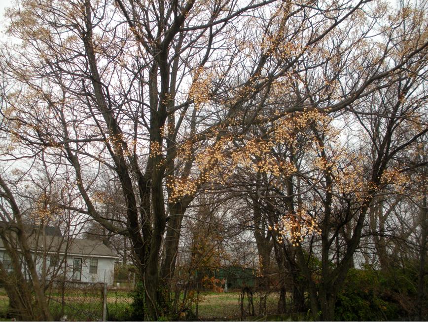 Memphis trees for Garden trees memphis