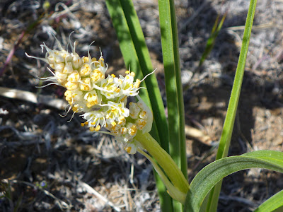 Sand-corn (Zigadenus paniculatus), also named foothill or panicled deathcamas
