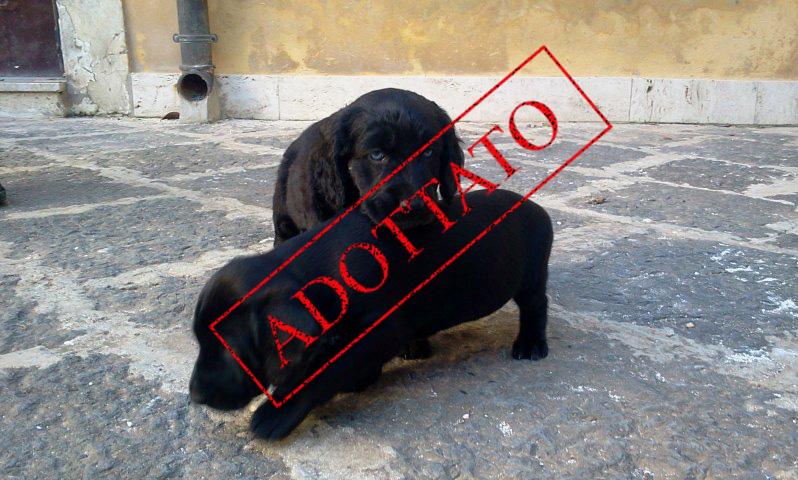 Adotta Un Cane A Siracusa Cuccioli Incrocio Cocker Spaniel In