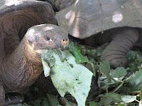 Tortoise Munching on Greenery at La Galapaguera, San Cristobal, Galapagos