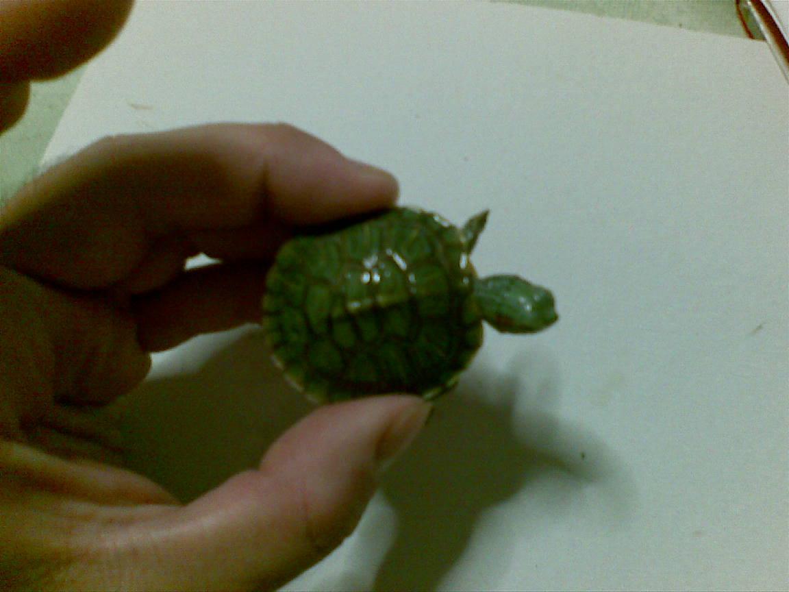 Allevamento amatoriale tartarughe acquatiche dalle for Vasca per tartarughe grandi