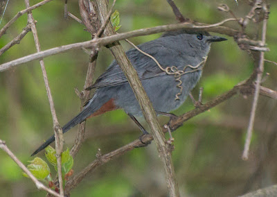 Gray Catbird (Dumatella carolinensis)