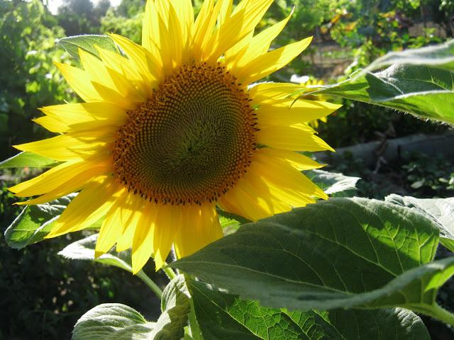 meu quintal meu jardim : meu quintal meu jardim:OS PRIMEIROS GIRASSÓIS DA MINHA HORTINHA DO QUINTAL ESTÃO A COMEÇAR