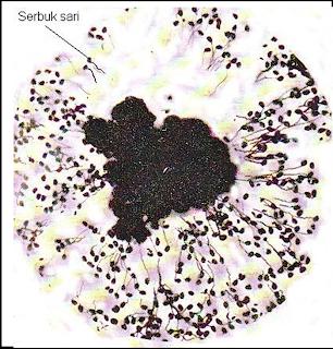 Gambar 3 . Gerak kemotaksis buluh serbuk sari ke stigma