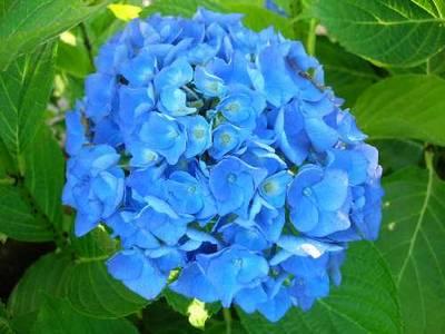 Trucos para obtener bellas flores de hortensia plantas - Cuidado de las hortensias ...