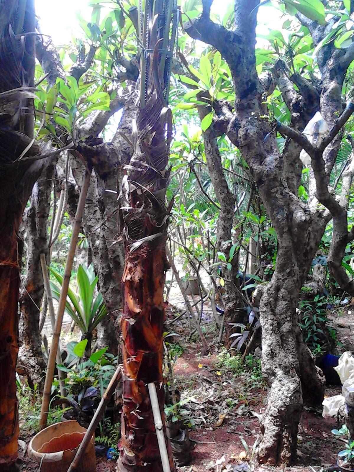 Jual kamboja fosil (batang besar) | solusi pertamanan | suplier tanaman dan rumput