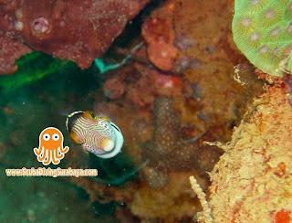 Puffer Fish -  Taman Laut Pasir Putih Situbondo