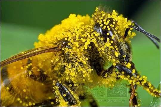 lebah bekerja diantara pollen