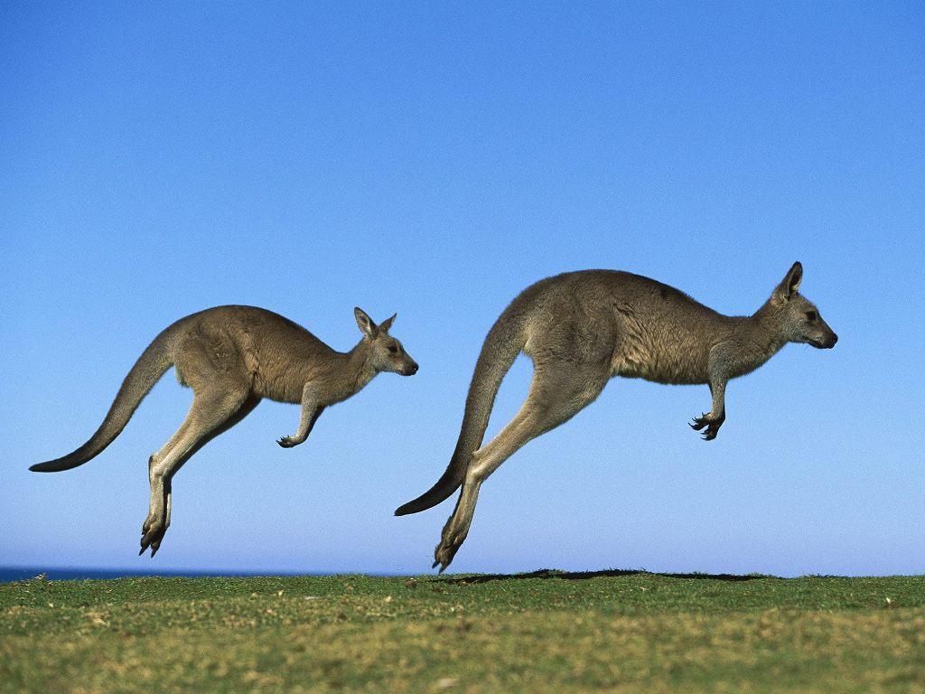 Крупнейший экспортер мяса кенгуру радуется российским санкциям