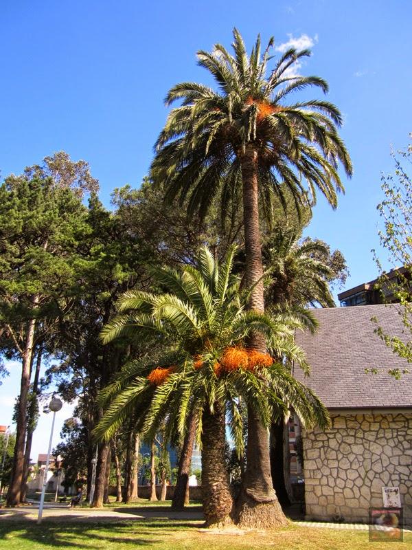 Palmera de Canarias en el Parque de Sarriko en Bilbao (Bizkaia)