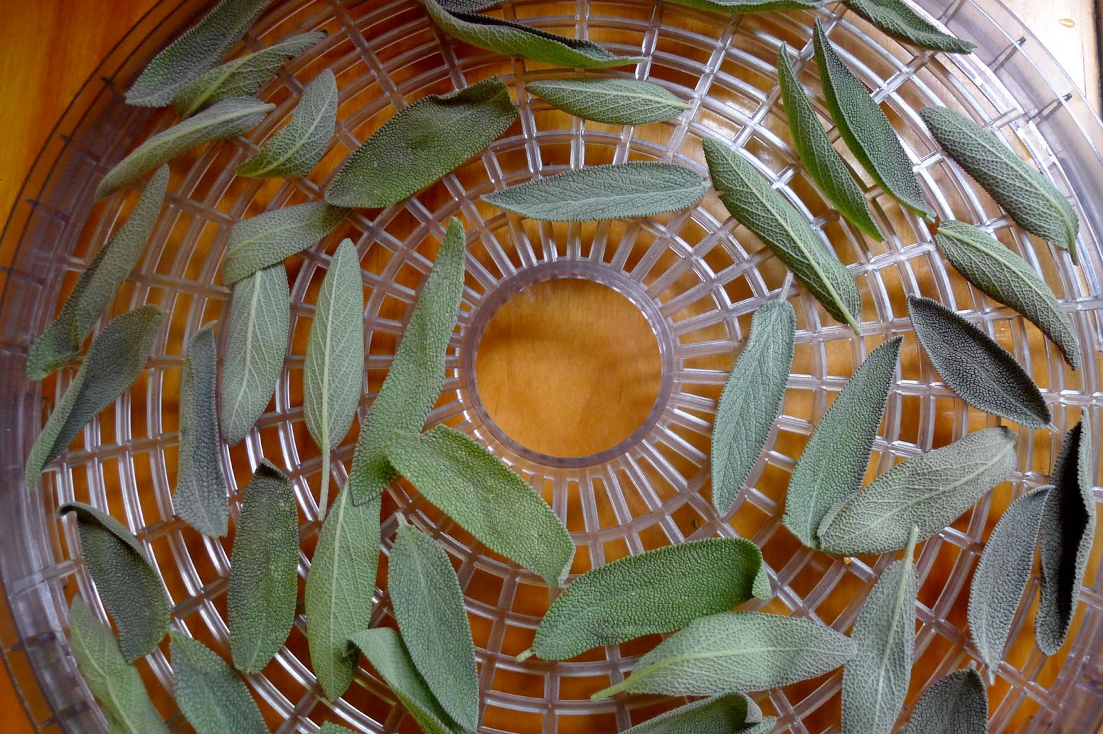 dehydrating Sage, preserving herbs