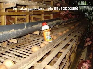Tips mengoptimalkan produksi ayam petelus dengan pemberian VITERNA PLUS 3 hari sekali.