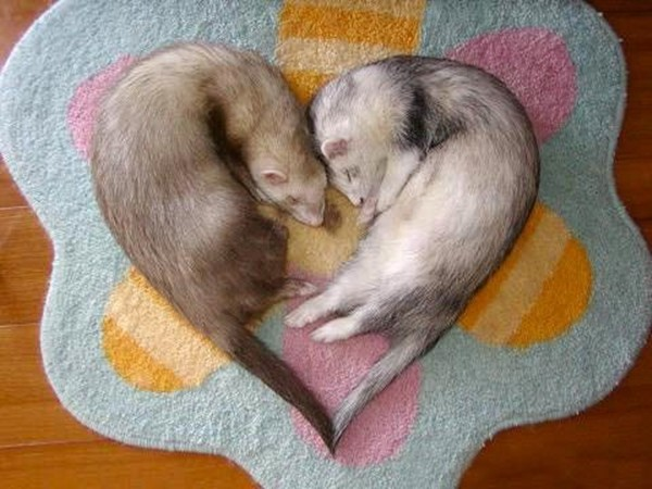 funny animal pictures, ferrets love