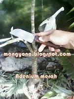 Ke 4 - Cara menyambung tanaman  bunga Adenium