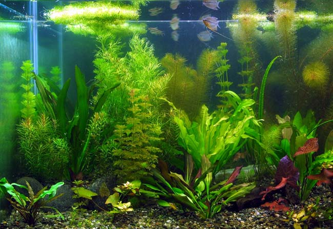 Aquatic plants function for koi pond koi fish care info for Easy aquatic plants