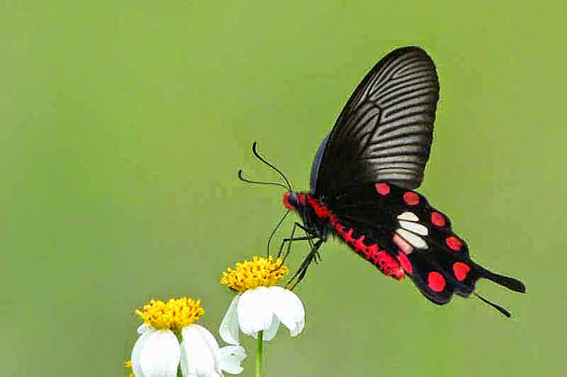 swallowtail, butterfly, black, white, red