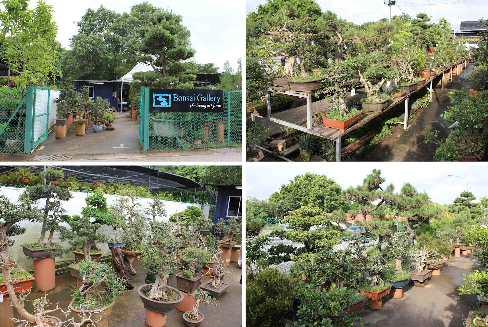 My Singapore Bonsai Saga Continues I Already Talked About One Of S Nurseries Earlier