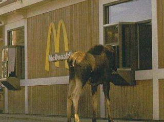 funniest picture: Camel in McDonald's