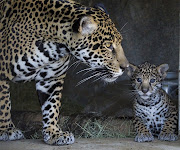 . eyes of such an innocent life? I've always wanted a cub of any species.