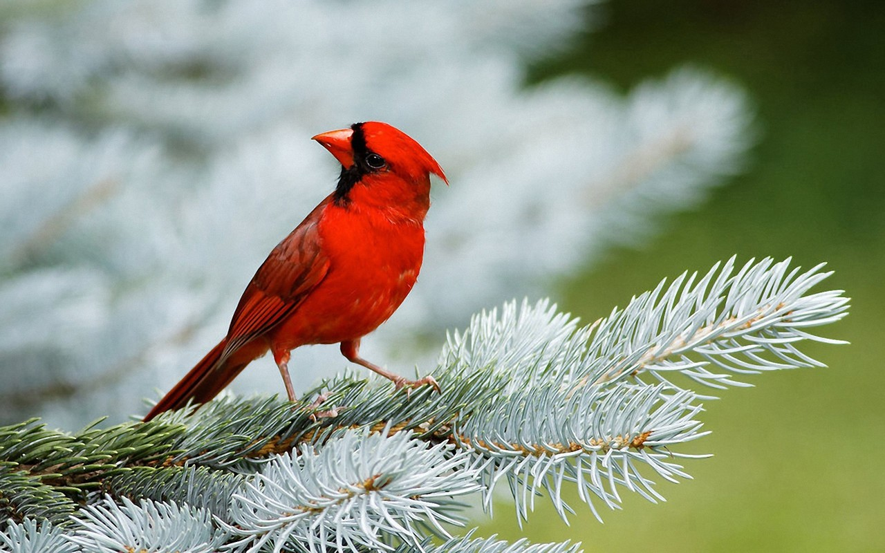 red birds wallpapers entertainment only