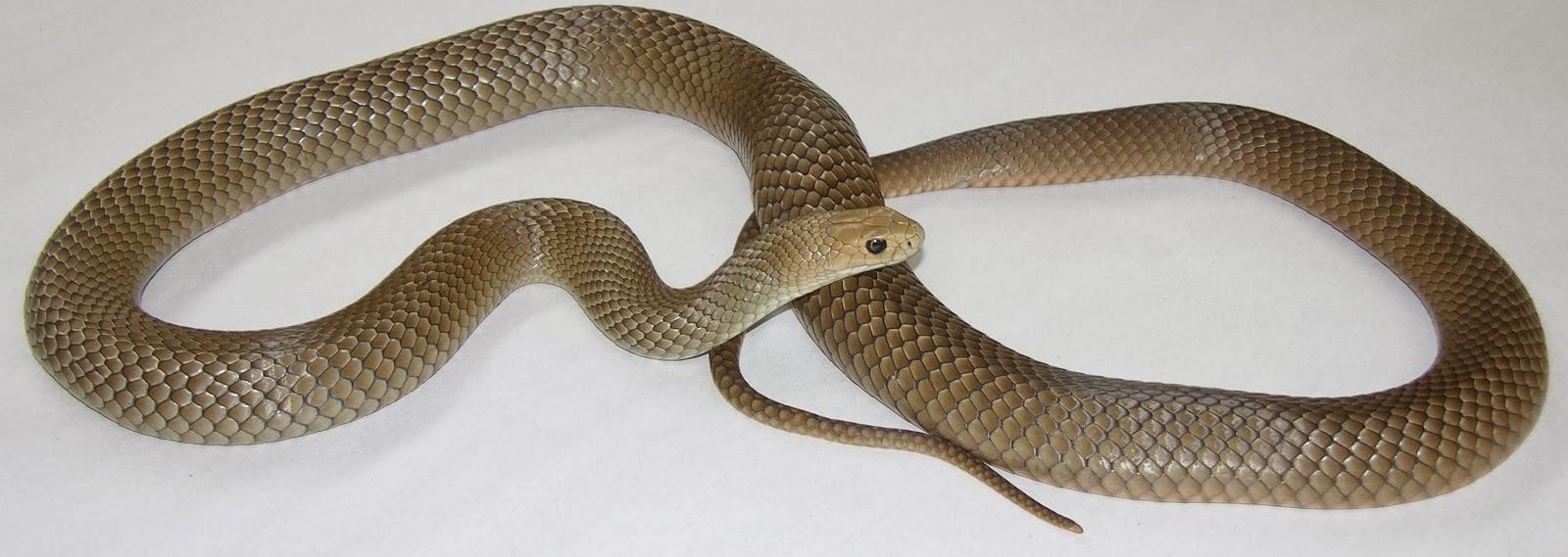 aveek blogs eastern brown snake