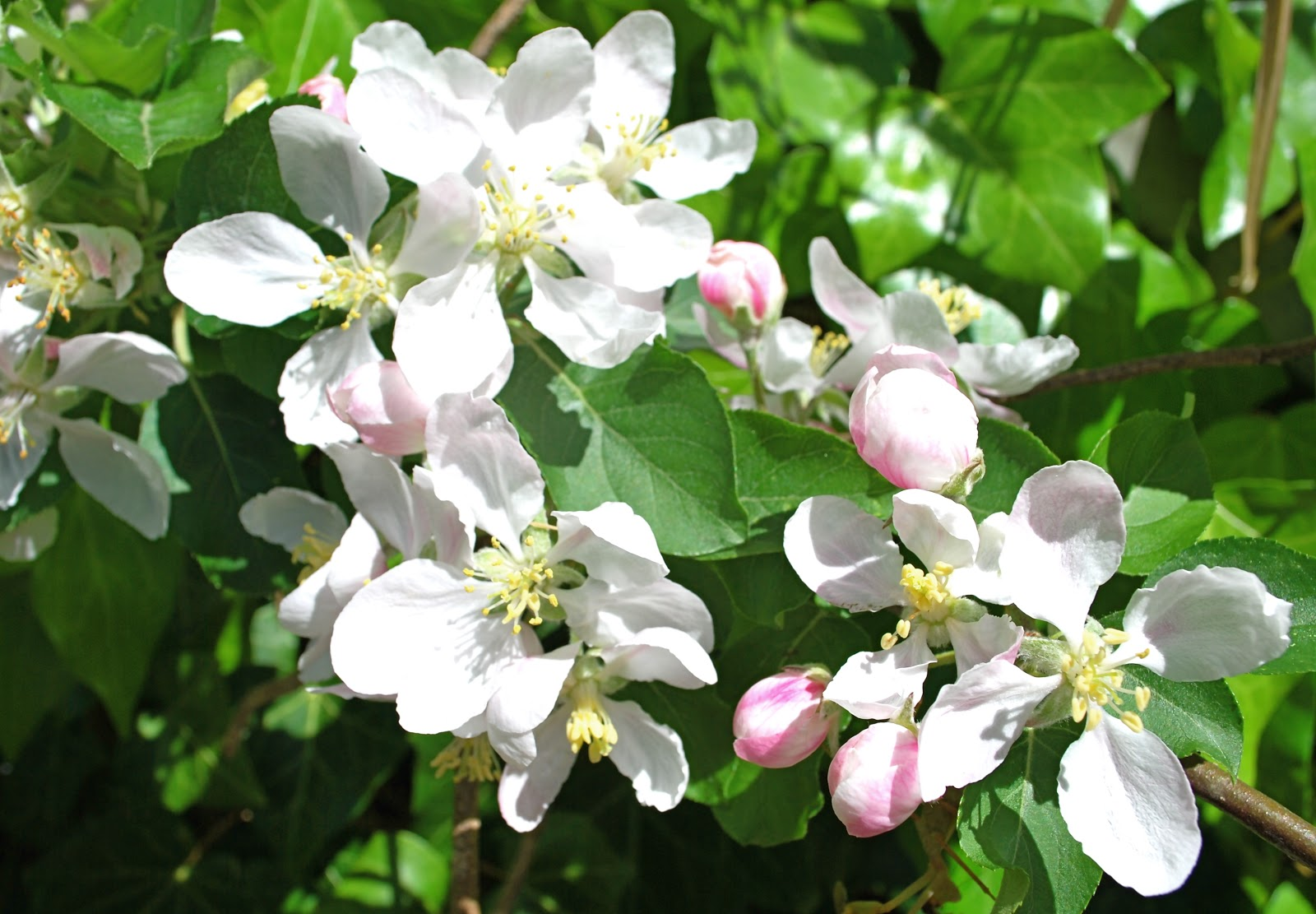 how to draw a apple blossom